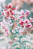 Beautiful colorful tiger lily flowers with green leaves on blurry background bokeh. Toned with filters and light leak. Soft selective focus. Macro closeup stock photos