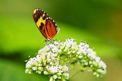 Tiger mimic butterfly feeding in some white flowers. Beautiful and colorful Tiger mimic butterfly feeding in some white flowers royalty free stock photo