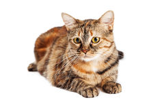 Beautiful Colorful Tortie Cat Laying Stock Image
