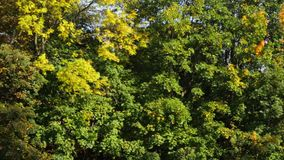 Autumn forest. Beautiful colorful trees in autumn forest stock footage