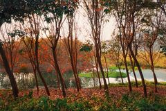 The trees and lake in park. The beautiful colorful trees in park in the morning stock photography