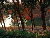 The trees and lake in park. The beautiful colorful trees in park in the morning royalty free stock photos
