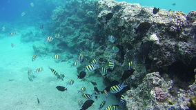 Beautiful Colorful Tropical Fish on Vibrant Coral Reefs Underwater in the Red Sea. Egypt stock video