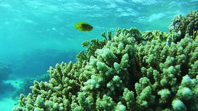 Beautiful Colorful Tropical Fish on Vibrant Coral Reefs Underwater in the Red Sea stock video footage