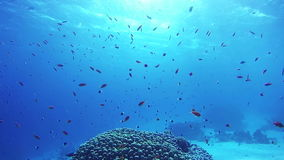 Beautiful Colorful Tropical Fish on Vibrant Coral Reefs Underwater in the Red Sea. Egypt. Sealife in the Red Sea. Diving near a coral reef in the red sea stock video