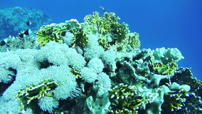 Beautiful Colorful Tropical Fish on Vibrant Coral Reefs Underwater in the Red Sea. Egypt. Sealife in the Red Sea. Diving near a coral reef in the red sea stock video footage