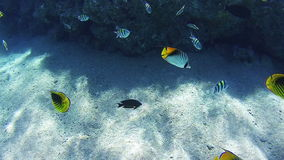 Beautiful Colorful Tropical Fish on Vibrant Coral Reefs Underwater in the Red Sea