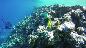 Beautiful Colorful Tropical Fish on Vibrant Coral Reefs Underwater in the Red Sea. Egypt. Sealife in the Red Sea. Snorkeling near a coral reef in the red sea stock video