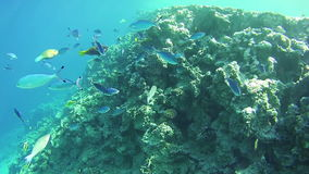 Beautiful Colorful Tropical Fish on Vibrant Coral Reefs Underwater in the Red Sea. Egypt. Sealife in the Red Sea. Snorkeling near a coral reef in the red sea stock footage