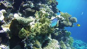 Beautiful Colorful Tropical Fish on Vibrant Coral Reefs Underwater in the Red Sea stock video