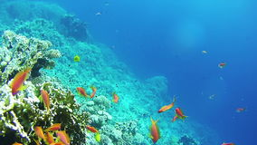 Beautiful Colorful Tropical Red Fish on Vibrant Coral Reefs Underwater in the Red Sea. Egypt. Sealife in the Red Sea. Diving near a coral reef in the red sea stock video footage