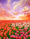 Beautiful colorful tulip fields at sunset. Spring season Royalty Free Stock Photography