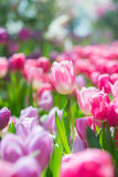Beautiful colorful Tulip flower Royalty Free Stock Photos
