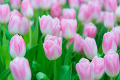 Beautiful colorful Tulip flower Royalty Free Stock Image