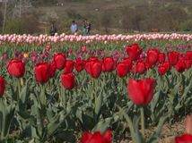 Beautiful Colorful Tulip and Flowers field in Srinagar, Kashmir Royalty Free Stock Photo