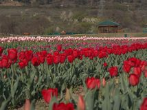 Beautiful Colorful Tulip and Flowers field in Srinagar, Kashmir Stock Images