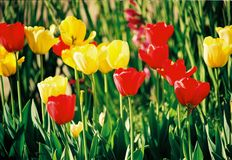 Beautiful colorful tulip and iris flowers stock images