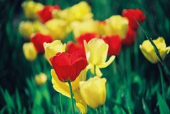Beautiful colorful tulip and iris flowers stock photography