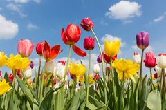 Beautiful colorful tulips against a blue sky with clouds Royalty Free Stock Photos