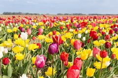 Beautiful colorful tulips against a blue sky with clouds Stock Photos