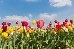 Beautiful colorful tulips against a blue sky with clouds Stock Photo