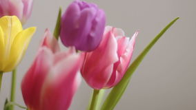Beautiful colorful tulips bloom isolated. Close up stock video