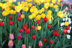 Beautiful colorful tulips Royalty Free Stock Image