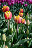 Beautiful colorful tulips close up middle of the field in the Ne Stock Images