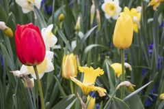 Red and yellow tulips on the field royalty free stock photos