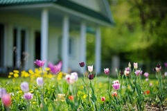 Beautiful colorful tulips in front of a house Royalty Free Stock Photography