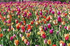 Beautiful colorful tulips in the garden. Netherlands royalty free stock photo