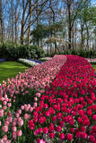 Beautiful colorful tulips growing in the park at sunny day. Stock Photos