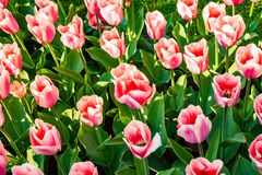 Beautiful colorful tulips in Holland - Nice flowers stock photo