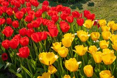 Beautiful colorful tulips in Holland - Nice flowers royalty free stock images