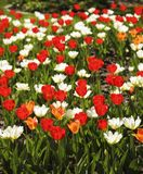 Beautiful colorful tulips. Tulips in spring at the garden, natur Stock Photos