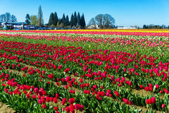 Beautiful Colorful Tulips Stock Images