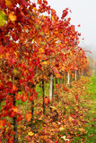 Beautiful colorful vineyard in Italy in autumn Royalty Free Stock Images