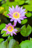 A beautiful and colorful violet pink waterlily or lotus flower. Stock Images