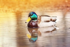 Beautiful colorful wild duck swims. Beautiful bird a Mallard duck swims in the water and dives in search of food in spring Stock Image
