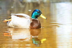 Beautiful colorful wild duck swims. In the water Sunny Stock Photography