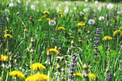 Beautiful colorful wildflowers on green meadow Royalty Free Stock Photography