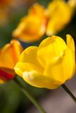 Beautiful colorful yellow red tulips flowers Stock Photo