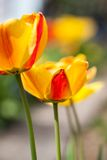 Beautiful colorful yellow red tulips flowers Stock Photos