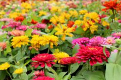 Beautiful Colorful Zinnia Elegans Flowers on wonderful flowers background in the garden for Background Stock Images