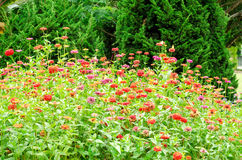 Beautiful of colorful Zinnia flower in natural garden park Stock Photography