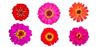 Beautiful colorful zinnia flower top view isolated on white background. Beautiful colorful zinnia flower top view isolated on white background with clipping stock photos