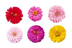Beautiful colorful zinnia flower top view isolated on white background. Beautiful colorful zinnia flower top view isolated on white background with clipping stock image