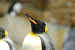 Beautiful Coloring on a King Penguin with His Beak Held High Stock Images