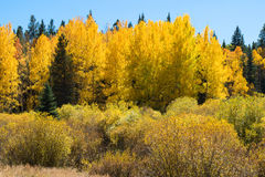 Beautiful colors of aspen trees in fall Stock Images