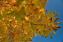 Beautiful colors of autumn leaves Royalty Free Stock Photography